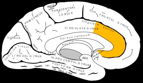 Gray727_anterior_cingulate_cortex.png